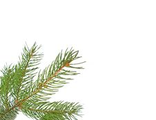 Free Pine Branch Royalty Free Stock Image - 6379116