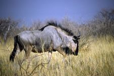 Free Gnu In The Bush Stock Photography - 6379182
