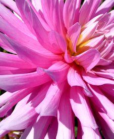 Pink Dahlia Flower 9 Royalty Free Stock Photos
