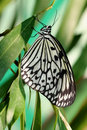 Free Idea Leuconoe (butterfly) Stock Photography - 6389582