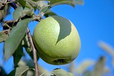 Free Green Apple On Branch Royalty Free Stock Image - 6380386