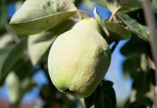 Free Unripe Green Quince Royalty Free Stock Photo - 6380455