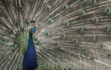 Free Peacock Royalty Free Stock Photography - 6380947