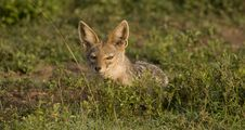 Free Silver Back Jackal Sunrise Stock Photography - 6384302