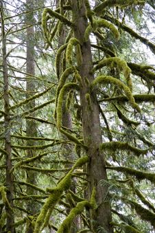 Free Moss Covered Limbs In Fog Royalty Free Stock Photo - 6384575