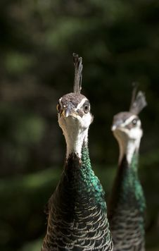 Free Peahens Royalty Free Stock Photography - 6385487