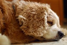 Free Tired Cocker Spaniel Royalty Free Stock Images - 6386439