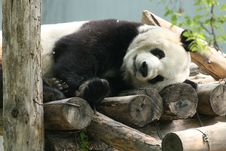 Free Chew The Panda Of Cui Bamboo, Spare Time Royalty Free Stock Photo - 6387065
