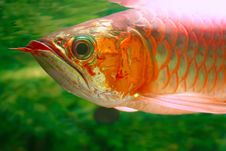 Free Arwana Fish 2 Stock Photos - 6387323