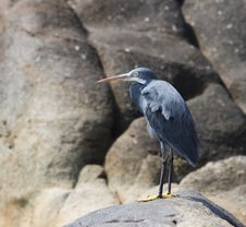 Free Grey Heron On A Rock Stock Photos - 6387413