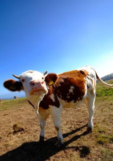 Free Cow Royalty Free Stock Photos - 6387678
