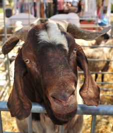 Free Goat 3 Stock Images - 6387944
