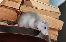 Free Rat  In Library Stock Photos - 6388593