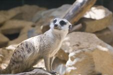 Free Meerkat Royalty Free Stock Photo - 6388945