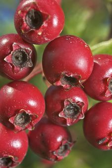Free Autumn Berries Royalty Free Stock Images - 6389029