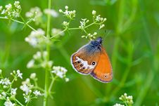 Free Coenonympha Hero (butterfly) Royalty Free Stock Photography - 6389707
