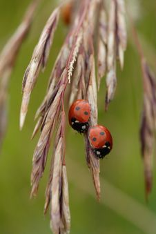 Free Ladybug On Ear Royalty Free Stock Photo - 6389775