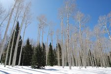 Free Aspens Of Colorado Stock Images - 6389854