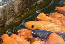 Free Koi Fish Stock Images - 6389914