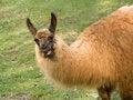 Free Talking Llama Royalty Free Stock Photo - 6392135