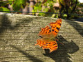 Free Butterfly Polygonia C-album Stock Images - 6393264
