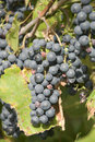 Free Grape Stock Photo - 6396760