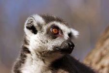 Free Lemurs Head Stock Photos - 6390223