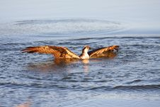 Free Osprey Fishing Stock Images - 6391584