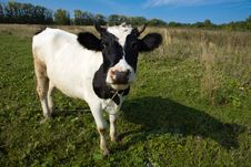 Free Cow On A Green Field Royalty Free Stock Photo - 6391665