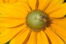 Yellow Bug In Yellow Flower Stock Photo
