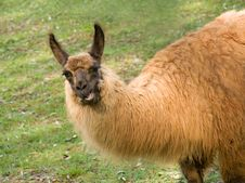 Free Talking Llama Royalty Free Stock Photo - 6392135