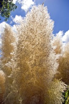 Free Papas Grass Seed Head Stock Photos - 6392183