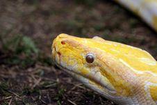 Free Albino Burmese Python Stock Photography - 6392282