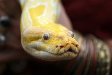 Free Albino Burmese Python Stock Photo - 6392430
