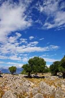 Free Old Olive Tree Royalty Free Stock Photo - 6392475