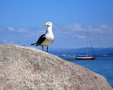Free Gull Stock Photography - 6393032