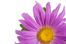 Close-up Fresh Purple Aster Royalty Free Stock Images