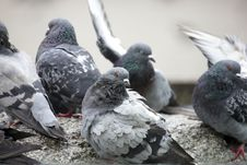 Free Pigeons Stock Photography - 6393942