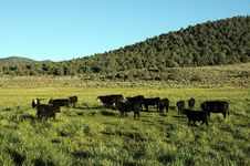 Free Cows Royalty Free Stock Photos - 6394198