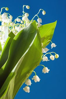 Free Lily Of The Valley Royalty Free Stock Photography - 6396117