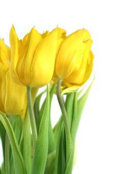 Free Tulips Royalty Free Stock Image - 6396736