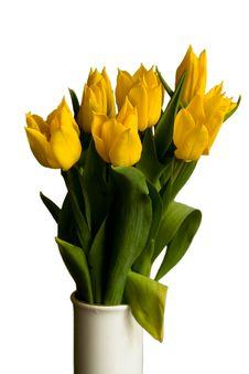 Free Yellow Tulips Royalty Free Stock Photo - 6397535