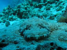 Crocodile Fish Stock Images