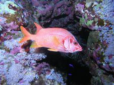 Free Soldatenfish Royalty Free Stock Image - 6398136