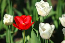 Free Tulip Royalty Free Stock Photos - 6398328