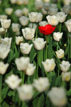 Free Tulip Stock Image - 6398331