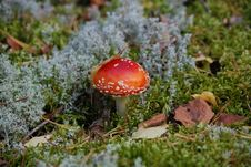 Free Fly-agaric Stock Image - 6398371