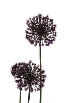 Free Allium Stock Photo - 6398390