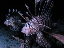 Free Lionfish Royalty Free Stock Image - 6398996