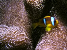 Free Amphiprion Bicinctus Stock Photography - 6399002